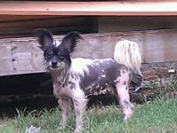 I have a nice breeding pair of Chinese crested I would