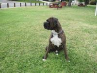 I have a 2 yr old Brendal Boxer for breeding. He is AKC
