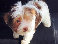 AKC reg, Briewer Yorkie, males and females estimated