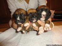AKC registered brindle and fawn boxer puppies for sale.