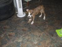 Born 7-17-2013 male, Colt 45 is a playful little guy,