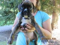 I have 5 brindle female boxer puppies that are 8 weeks