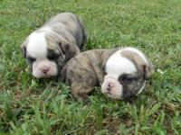 Beautiful litter of Brindle AKC English Bulldog babies,