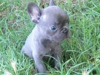 This is my cute AKC Brindle French Bulldog Puppy. She