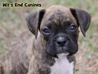 Meet Fizz! He is a beautiful classic brindle boxer who