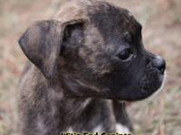 Meet Luigi ! He is a beautiful classic brindle boxer