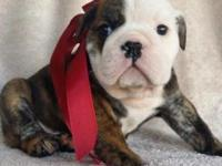Beautiful brindle mail English bulldog puppy this