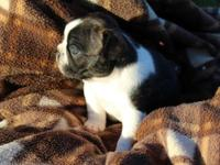 This adorable brindle pied girl carries cream and is