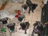 I have a litter of pug puppies that were born on May