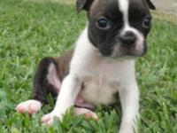This handsome little brindle/white Boston Terrier was