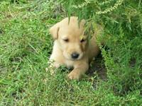 AKC British Lab pups. Shots, dewormed, and dew claws