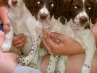 Litter of 8 AKC Brittany Spaniel Puppies, 2 males-1