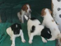 AKC Brittany puppys white and black and brown and