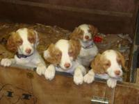 AKC Brittany Males, Mother has Champion Pedigree,