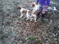 We have two beautiful Brittany Spaniels a male and