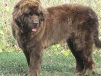Abby is a gorgeous brown newfy. She is 4 years old and