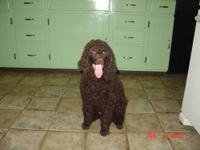 AKC Brown male standard poodle puppy. Vet checked and