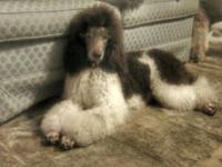 willow is a stunning brown and white tri color parti