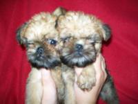 What adorable little AKC Brussel Griffon Puppies. These