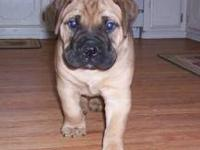 Ice is a 4 year old Bull Mastiff. She is the dog on the