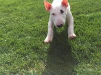 Selling our baby Bull Terrier. He is 19 weeks old, AKC,