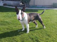 Great bull terrier male. He he has a curved head. Well