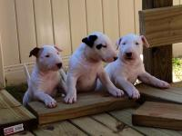 I have 3 Puppies left 2 Females and 1 Male all with age