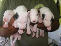 10 puppies born 9/19 Imported breed $2500 with papers.