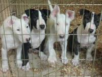 I have one female English Bull Terrier puppy needing a