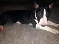 I have a AKC Bull Terrier puppy. She is purebreed and
