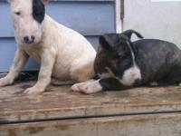 I have 2 females and a male. They come with full akc