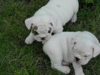 AKC Bulldog puppies, Vet health checked, shots and