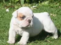Beautiful English Bulldog Puppies for Adoption English