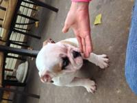 AKC registered Bulldog Puppy. Fawn and White Male.