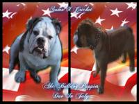 Akc Bulldog Puppies Due in July Father has an amazing