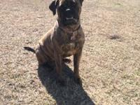 14 month old female BullMastiff available. Must go to a