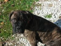 AKC bullmastiff male. 15 wks old. Extremely relaxeded