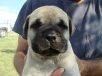 Born July 8, 2014 Our Bullmastiff dogs have a very