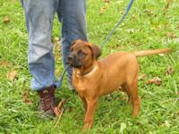 Akc Bullmastiff Puppies Pick of Litter red male and