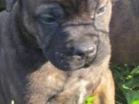Akc Bullmastiff Puppies prepared to be positioned in