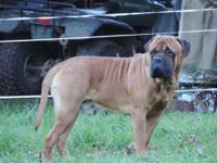 We have AKC Bullmastiff pups ready to be reserved for