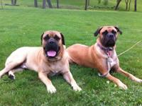 AKC Bullmastiff puppies are expected by July 15th.