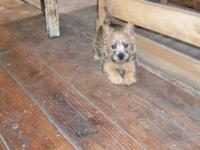 AKC Girl Cairn Terrier puppy 10 weeks aged, all set for