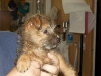 Adorable female cairn terrier . 10 weeks old and ready
