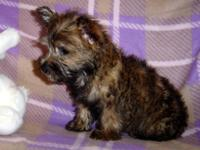 AKC Cairn Terrier Born 2-16 , Wheaten color, Ready now,