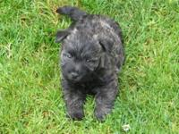 Cairn terrier pups, 4 male $400, Brindle color, 8