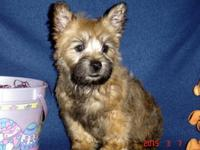 AKC Cairn Terriers, Sophia's B1 Boyl,Champion Grand