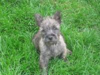 "AKC Cairn Terrier Male Puppy 12 weeks old, ""Riley"" is"