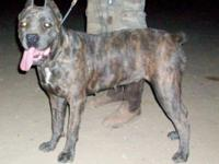 Connie is a blue brindle female AKC registered. Ears