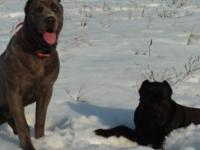 AKC REG Cane Corso dogs due June 20th. we will